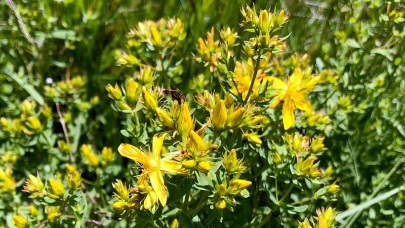 билката жълт кантарион